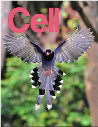 """Taiwan's national bird """"Formosan Magpie"""" selected as the cover of Cell"""
